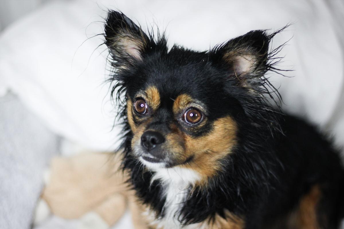 Franziska Elea deutsche Blogger Hund Chihuahua Straßenhund süßer Hund klein Modeblog München Fashionblog Inspiration Bett Home Office_