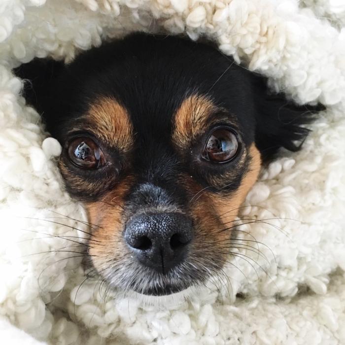 hazel-chihuahua-mix-aus-rumaenien-rumaenischer-strassenhund-deutsche-blogger-fashionblog-aus-muenchen
