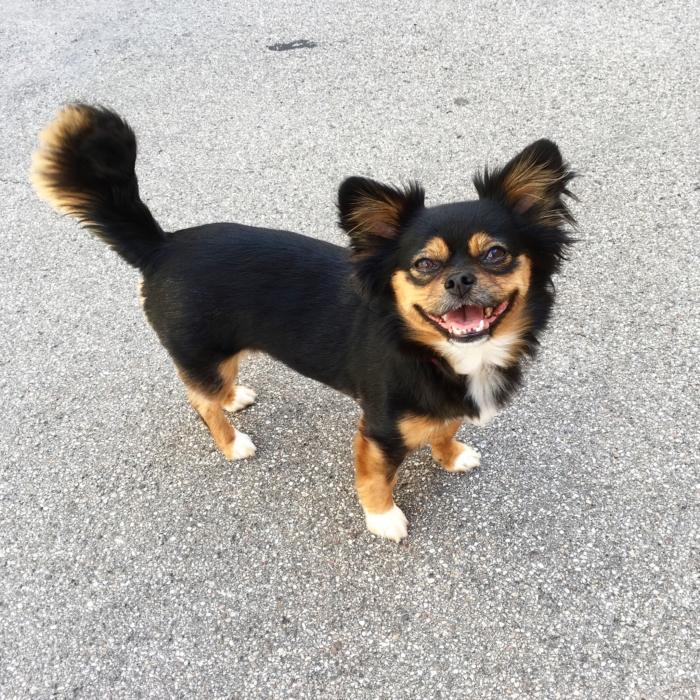 kleiner-suesser-hund-gremlin-studieren-mit-hund-mischling-chihuahua-strassenhund-adoptieren