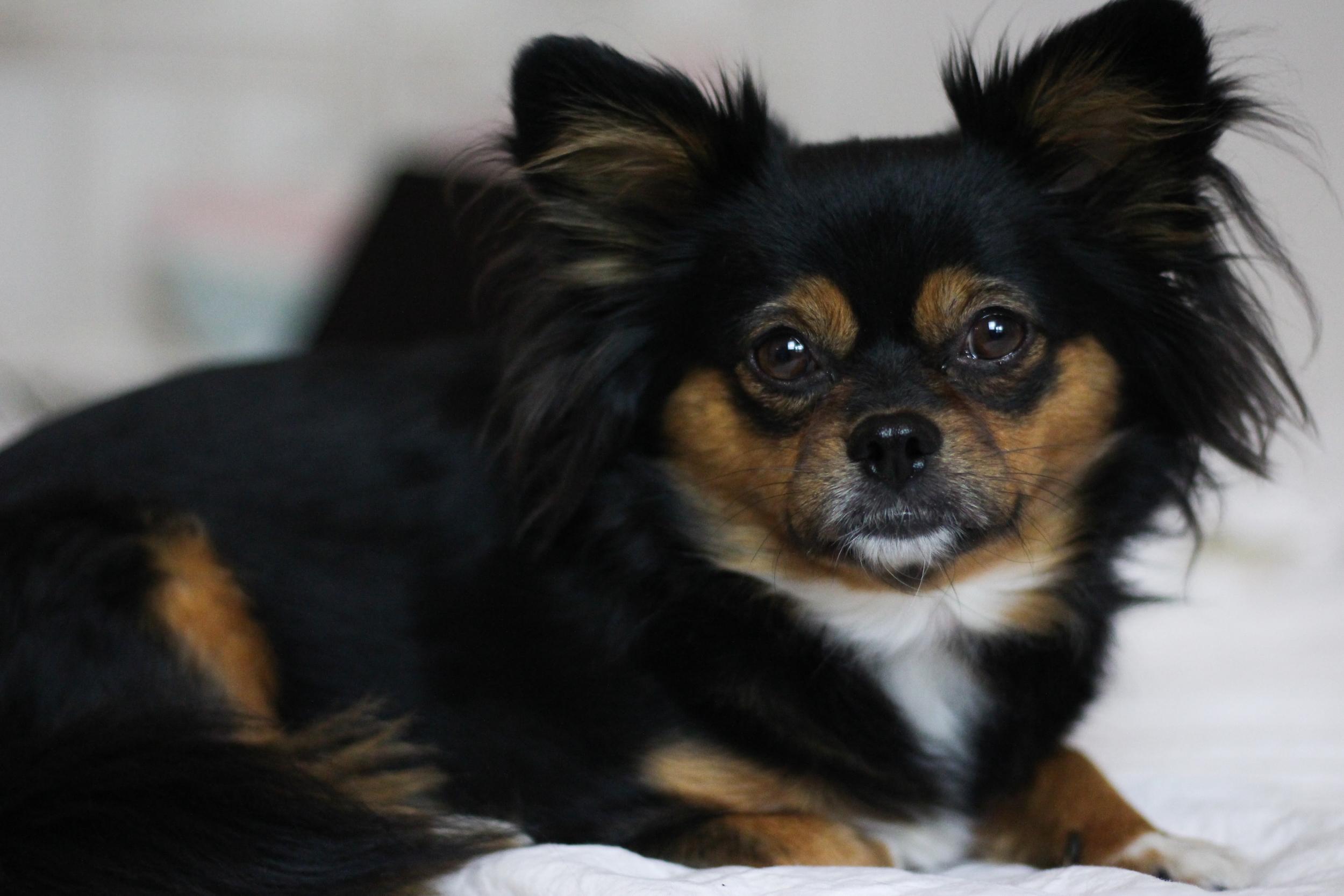 franziska-elea-blogger-aus-muenchen-fashionblog-chihuahua-hund-studium-mit-hund-studieren-rumaenischer-strassenhund-adoptieren-tier-retten-haustier